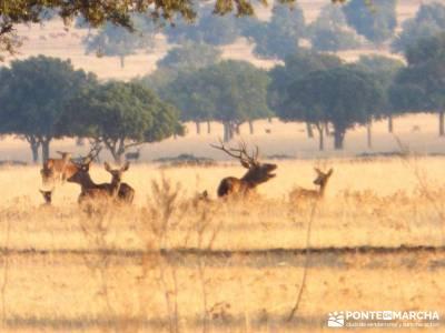 Berrea del Ciervo en Cabañeros y Montes de Toledo en 4x4;viajes de una semana excursiones desde mad